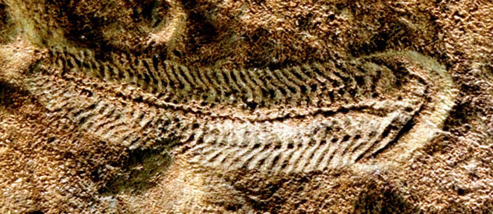 <b>FØRST UTE:</b> Enkelte tror Spriggina er trilobittens stamfar.