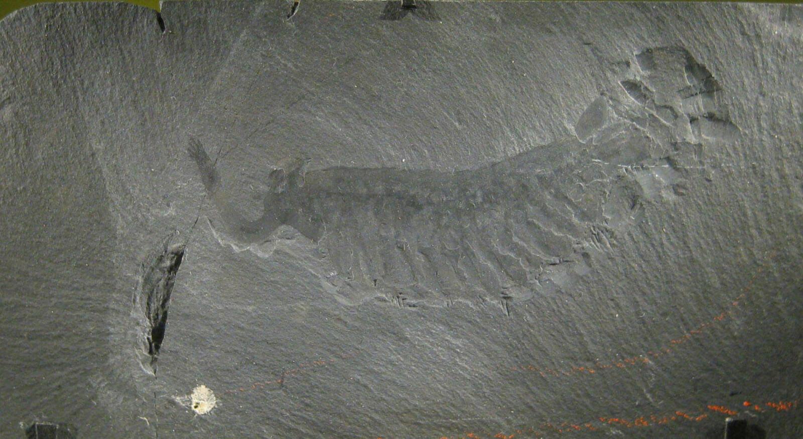 <b>GRIPESNABEL:</b> Denne fossilen viser tydelig gripearmen til Opabinia.