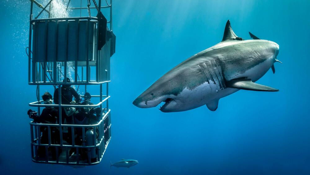En gruppe adrenalinjunkier kom tett på hvithaier utenfor Guadalupe i Mexico. Gjengen i buret er relativt trygg i buret - og det samme er fotografen på utsiden. De fleste ulykker med hai forekommer når haien ikke klarer å skille mennesker fra mat.