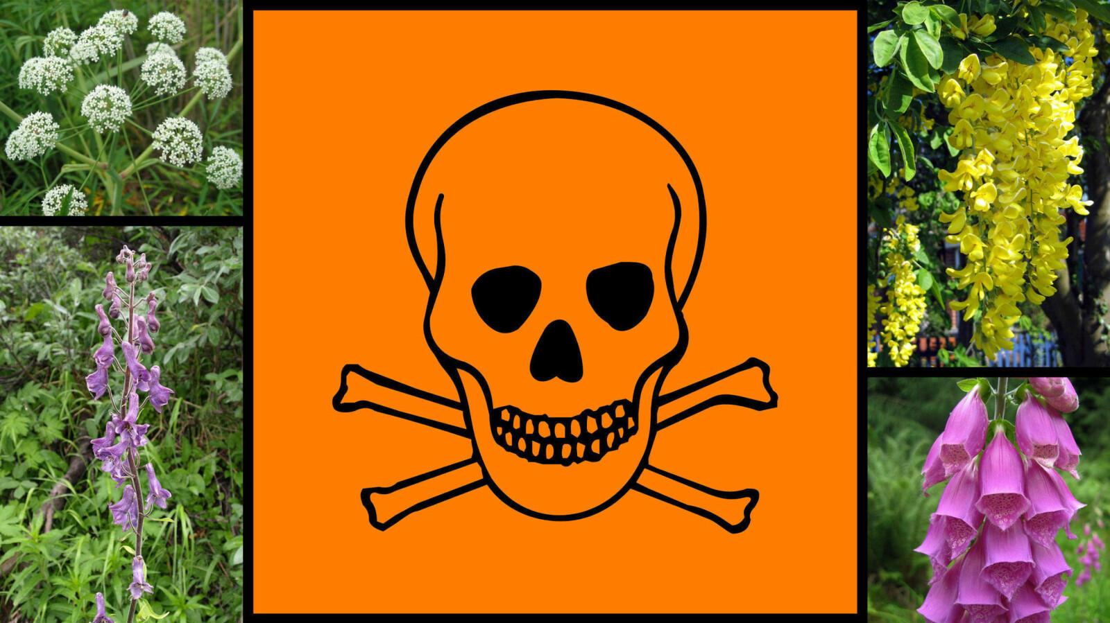 GIFTIGE PLANTER: Førstehjelp ved forgifting avhenger av hvilken gift det dreier seg om. Dersom uhellet skulle være ute, ta kontakt med Giftinformasjonen på telefon 22 59 13 00 og sjekk Helsedirektoratets liste over giftige planter.