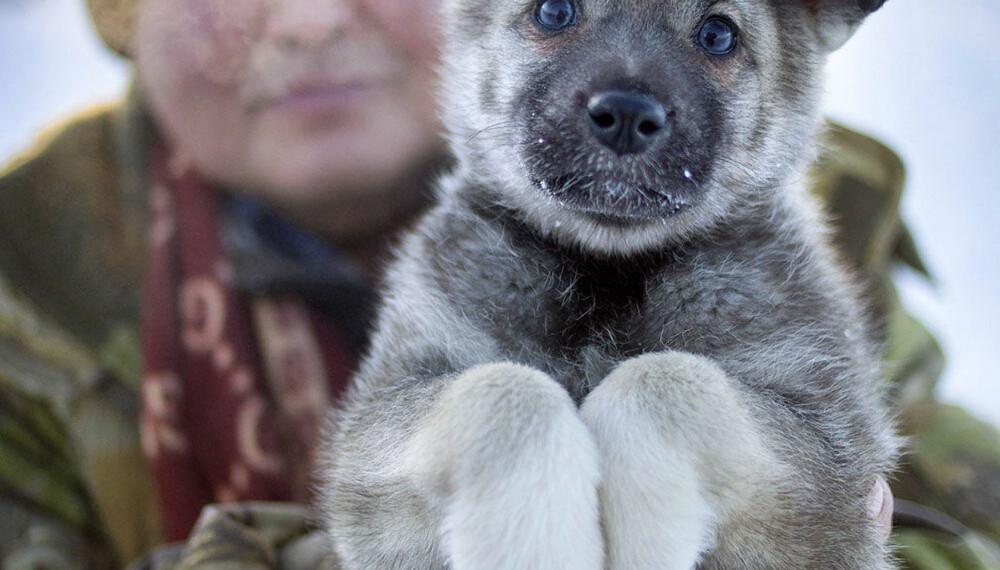 TETT PELS: En østsibirsk laika-valp. Laikaen er svært vanlig i Russland, men mer sjelden i den vestlige delen av verden. Typen er en jakthund med stor jaktlyst, men den er også en god kløvhund, trekkhund og vakthund.