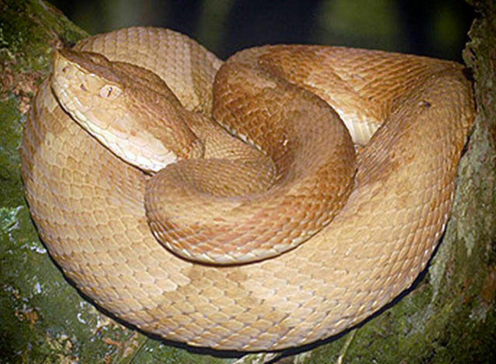 Slangearten Bothrops insularis, på engelsk kalt Golden lancehead, finnes bare på denne øya. Her er det til gjengjeld mange av dem.