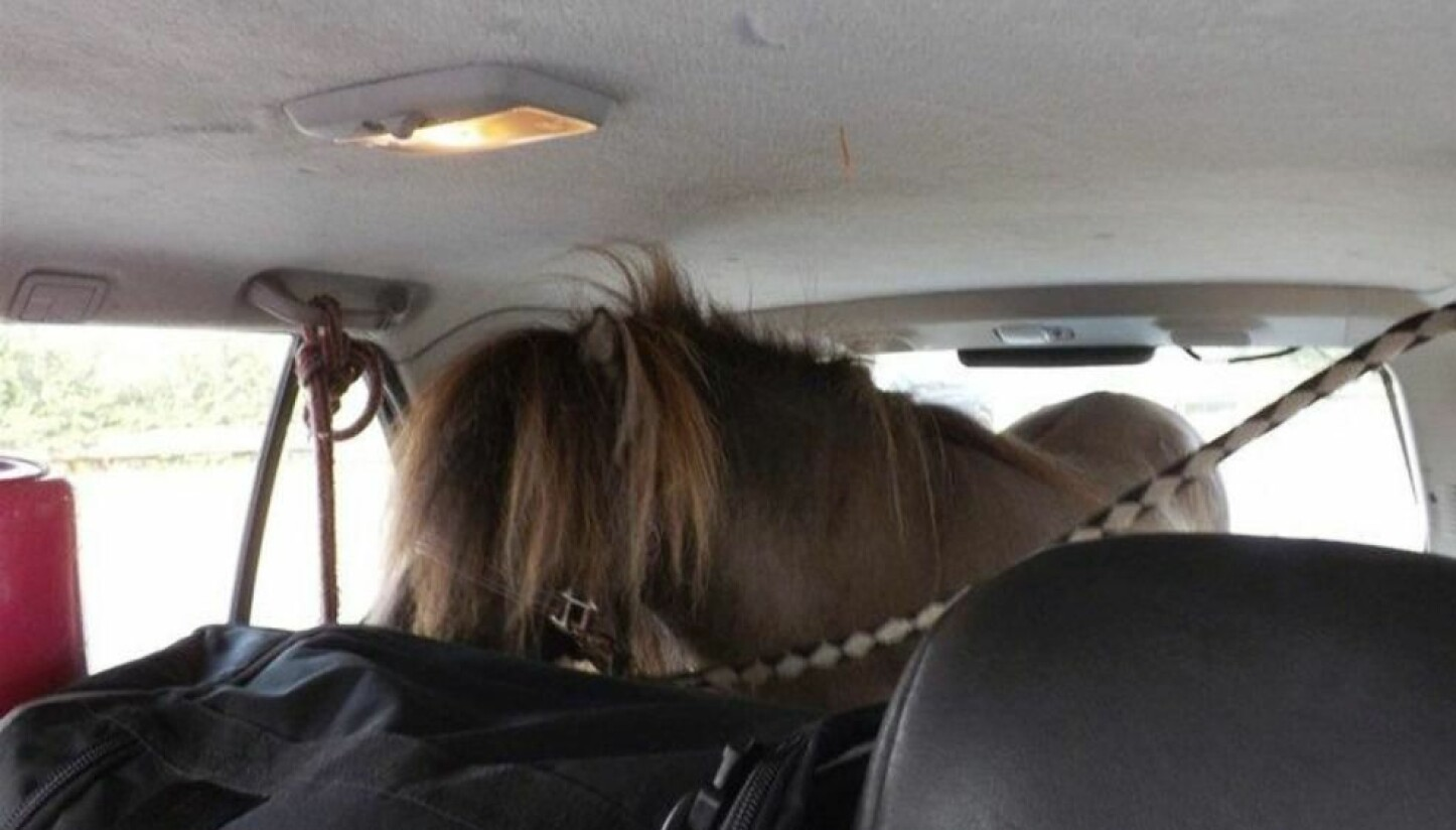 Denne dyretransporten er virkelig noe for seg selv - her står ponnien tjoret fast i bagasjerommet på bilen.