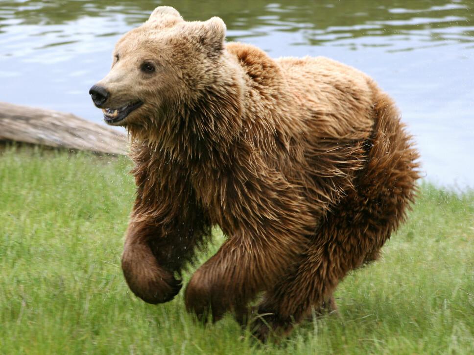 <b>IKKE LØP:</b> Er det noe du ikke bør prøve på, så er det å løpe fra bjørnen. Den kan komme opp i en fart på 60 kilometer i timen, og så fort er det ingen mennesker som løper.