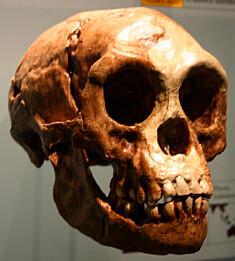 <b>«HOBBITENE»: </b>Homo floresiensis hadde en liten kropp, liten hjerne og var om lag en meter høy.