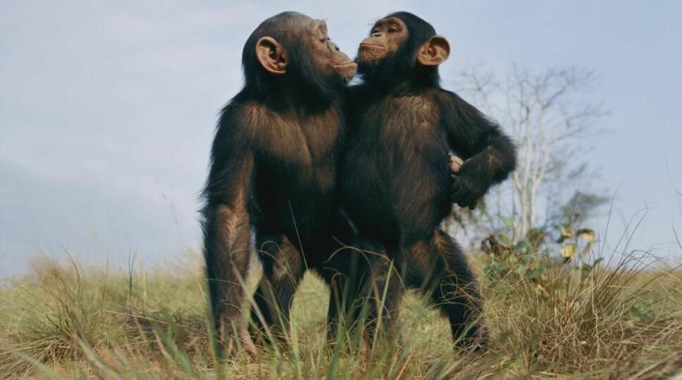 <b>LEVER LENGER: </b>Enkelte sjimpanser lever lenger enn andre. Forskere tror de har funnet «hemmeligheten».