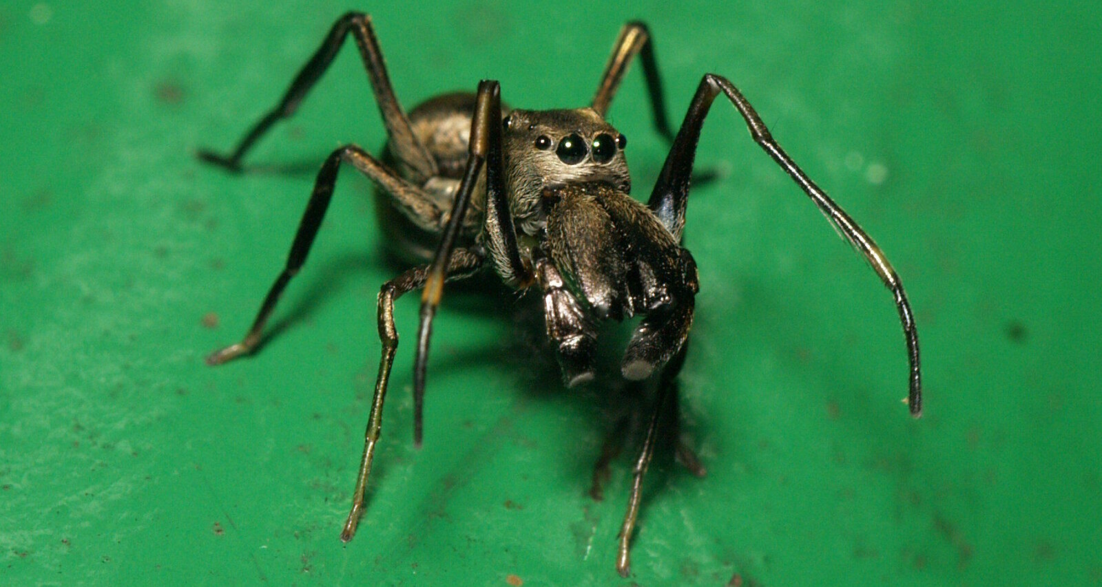 <b>UBESVART SPØRSMÅL:</b> Forskeren kunne ikke forstå hvorfor Toxeus magnus-edderkoppene vokste så fort - helt til han la merke til en velkjent oppførsel ...