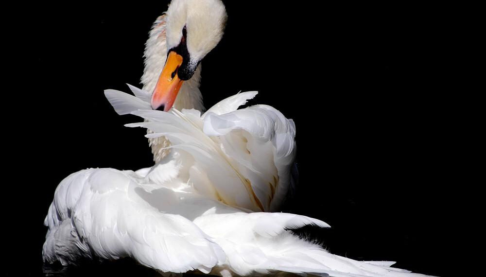 <b>KONGELIG SMAK:</b> Stekt svane - en kongelig delikatesse - og skal smake som gås.
