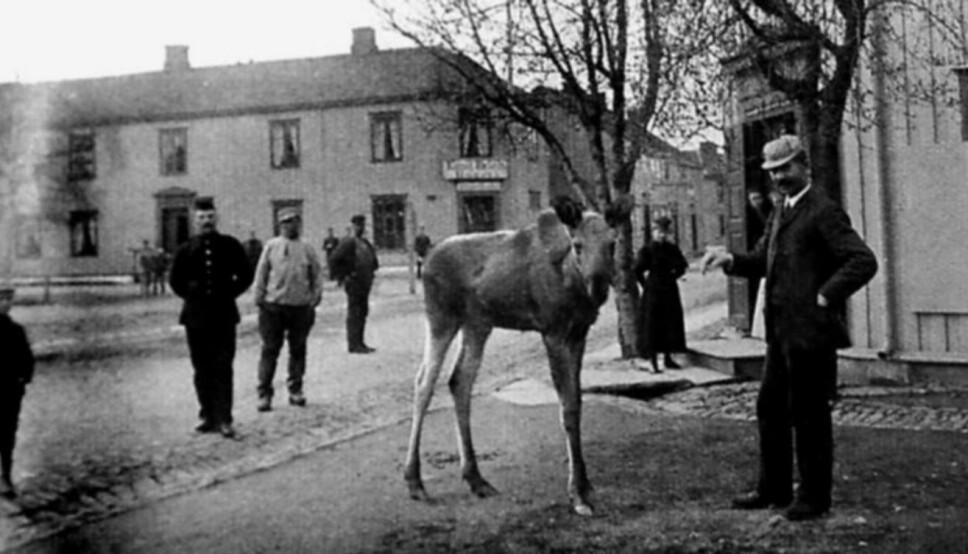 <b>TAM ELG: </b>Den tamme elgen «Hans» var ofte med Schulz på bytur til Steinkjer.