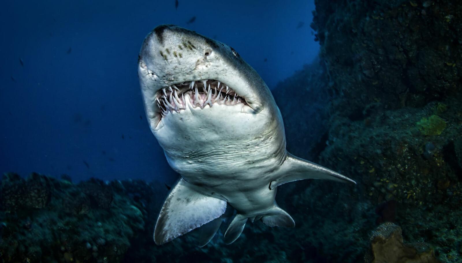 <b>STOR: </b>De aller største hvithaiene kan bli over seks meter lange.