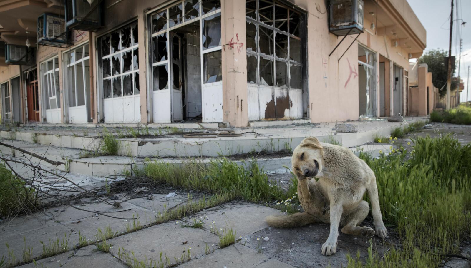 <b>IMPONERENDE ROLIG:</b> Foran en utbombet bygning i et område fullt av bomber og miner, minimalt med mat og mest sannsynlig en tøff fortid. Likevel var hundene Johnny møtte rett utenfor krigsherjede Mosul svært vennligsinnede.