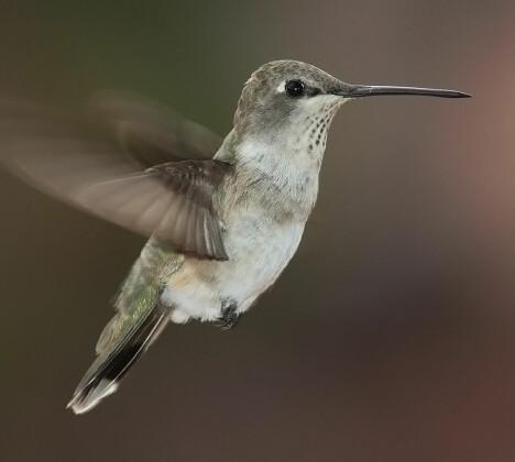 <b>ORIGINALEN</b>: DARPA så til kolibrien da de skulle utviklet en lite drone.