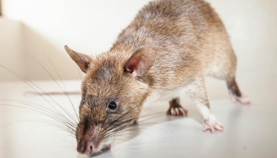 <b>RYDDER MINER:</b> Den gambiske hamsterrotta ser dårlig, men har en fantastisk luktesans.