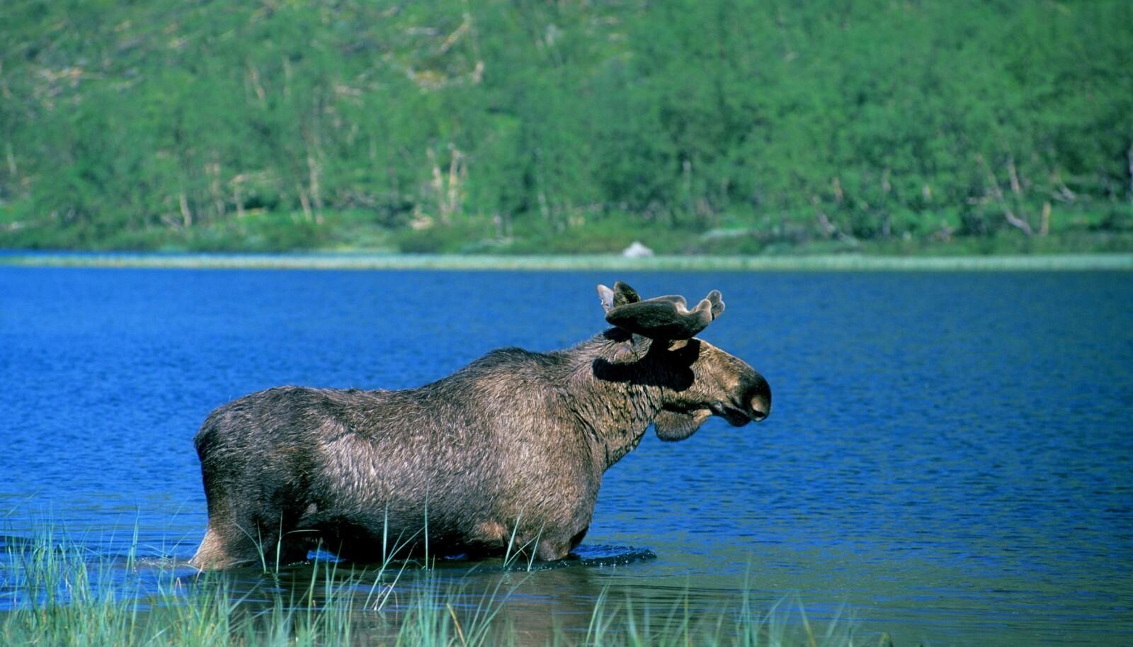 VANNPLANTER: Som alle andre hovdyr er elgen planteeter, men den er spesielt glad i vannplanter. Noen vannplanter kan den få tak i ved simpelthen å vasse ut på grunt vann, stikke hodet under vannet og bite dem av. Vår og sommer er det vanlig at elgen beiter på vannplanter som bukkeblad og nøkkeroser. Røtter og undervannsstengler av slike planter inneholder viktige mineraler (blant annet natrium) som elgen trenger etter vinteren.