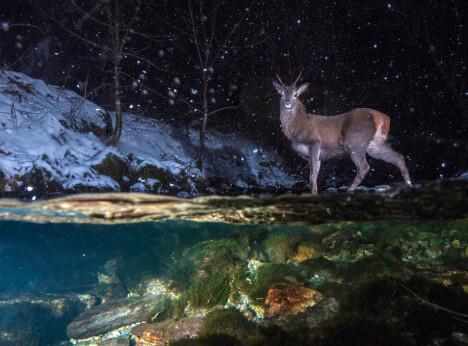SVØMMER OM NATTA: Vinjefjorden på Nordmøre og Sør-Trøndelag er 1–1,5 kilometer bred, og utgjør ingen stor hindring for hjorten. I et merkeprosjekt fant forskerne at flere radiomerkede hjorter krysset fjorder under sine sesongbetonte trekk. Forskerne benyttet i alt 22 viltkameraer med bevegelsessensor for å overvåke området. Forskerne fant at de aller fleste hjortene valgte å krysse fjorden på de mørkeste tidene av døgnet. Kun 18 av 177 hjorter valgte å krysse fjorden mens sola var oppe, og de hjortene som svømte i dagslys, valgte å svømme i den første timen før solnedgang og etter soloppgang. Tidevann viser også en effekt på trekkatferden, og det var størst hyppighet i fjordkryssinger ved fjære.