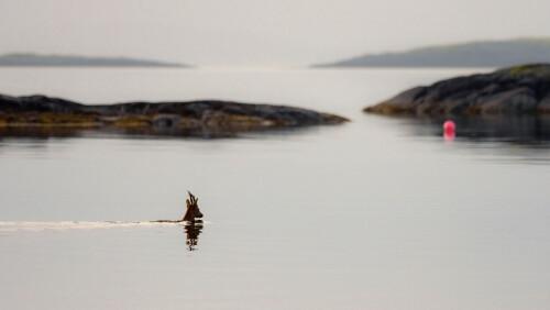 IKKE RIGGET FOR SVØMMING: Med sine små klauver er rådyret forholdsvis dårlig rigget for svømming. Og selv om de svømmer over fra fastlandet til øyer, er det sjelden rådyr svømmer mer enn fire kilometer.
