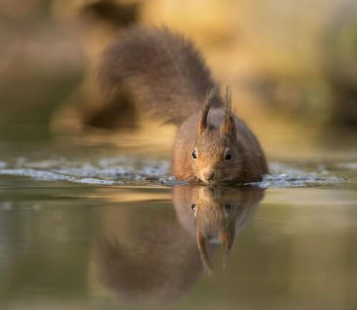 NØTTELITEN PÅ SVØMMETUR: I likhet med de fleste pattedyr, kan også ekornet svømme. Vannet er imidlertid ikke noe foretrukket element for den nysgjerrige gnageren med den store halen. Men hvis ytre omstendigheter tvinger ekornet til å legge på svøm, klarer den seg forholdsvis bra.
