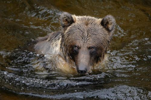 EN GLIMRENDE SVØMMER: Bjørnen virker litt tung og treg, men ikke la deg lure. Den kan ha en toppfart på 50–60 kilometer i timen, og attpåtil er den en fremragende svømmer. Nå er det riktignok ikke ofte man ser bjørn svømme, men det er heller ikke mange bjørner å observere i Norge. Isbjørnen kan for øvrig svømme og oppholde seg flere dager sammenhengende i vann, selv om det å svømme er langt mer ressurskrevende for bjørnen enn å gå.