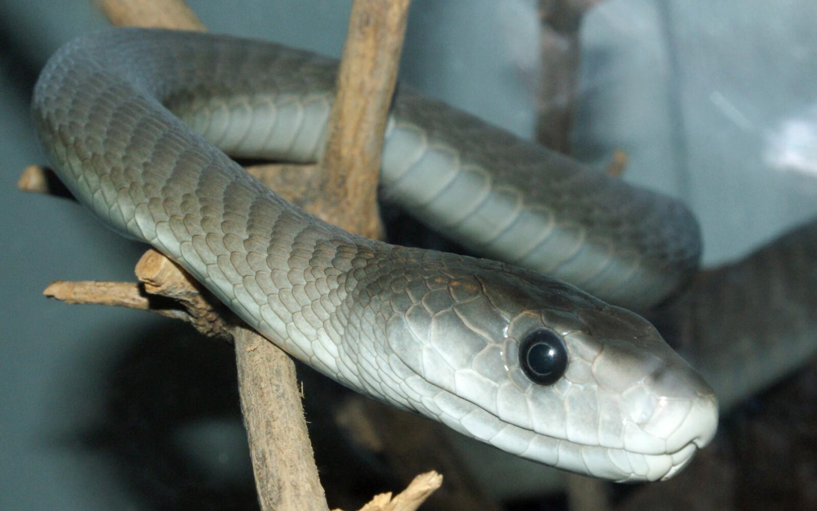 <b><SPAN CLASS=BOLD><STRONG>RASK OG GIFTIG:</b></strong></span> Svart mamba er blant klodens giftigste slanger. Den er også den raskeste. En potensielt dødelig kombinasjon.