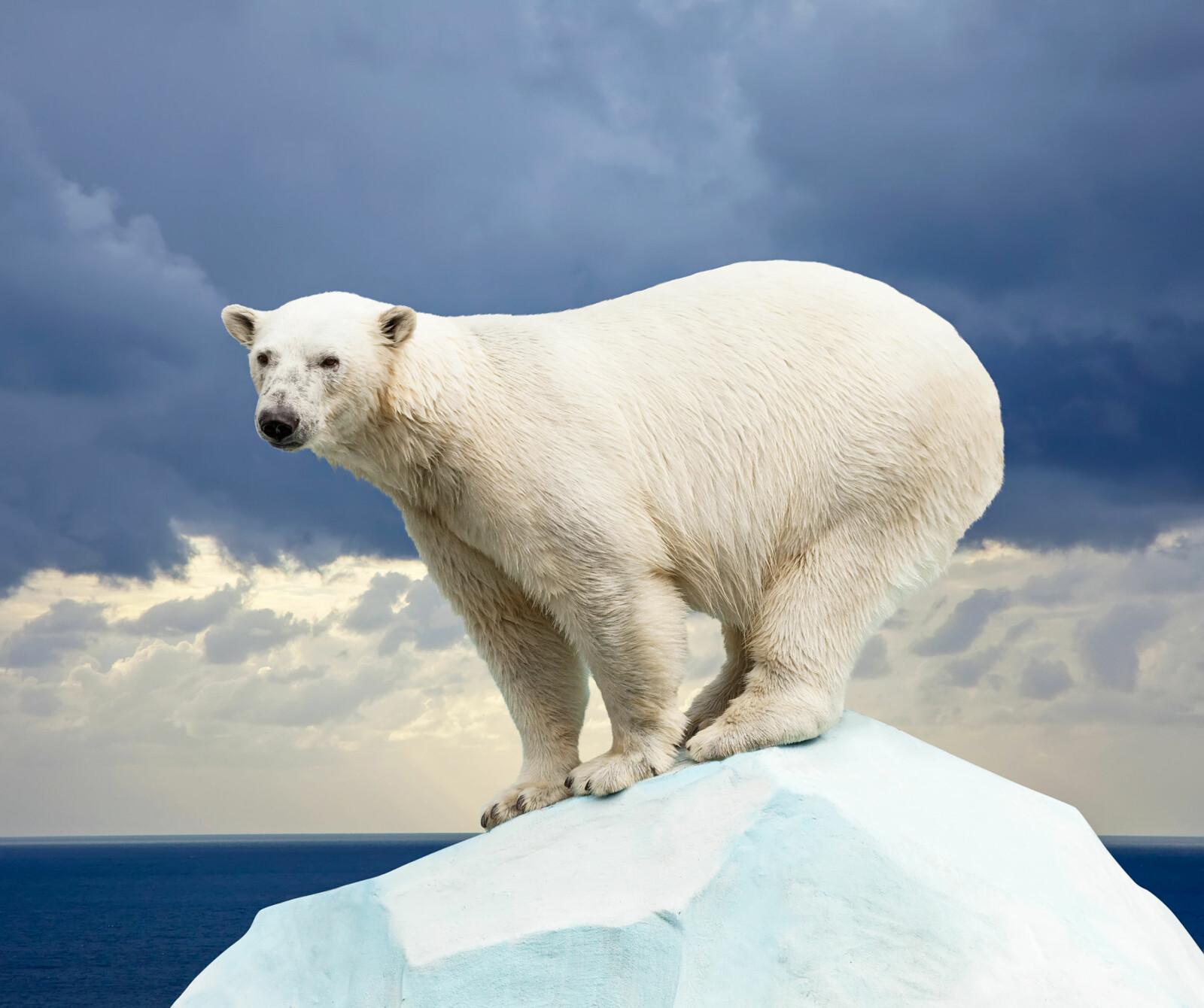 <b>GODT RUSTET:</b> Isbjørnen har et tykt lag av underhudsfett som gjør at den tåler det tøffe klimaet. (Foto: Shutterstock)