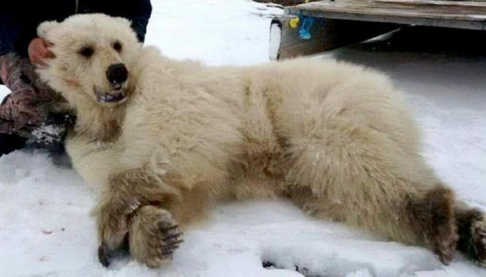 <b>PIZZLY:</b> Litt bjørn og litt isbjørn.
