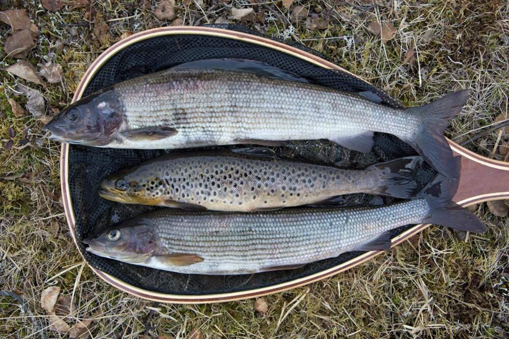 <b>FLERE ARTER:</b> Ikke se deg blind på ørreten! Andre arter er også morsomme å fiske og er gode i panna.
