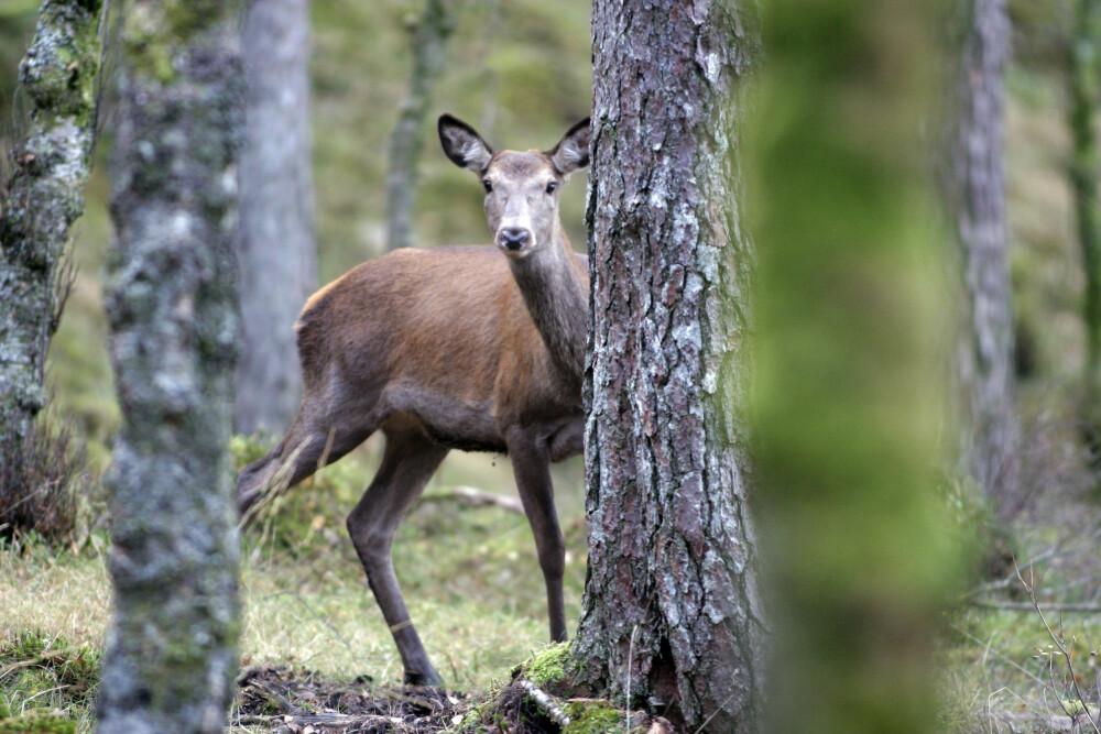 <b>REKORDMYE HJORT:</b> I år vil det bli gitt fellingstillatelse for nesten 45.000 hjort.