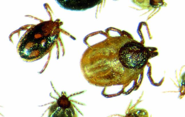 <b>PLAGSOM:</b> Flått er et plagsomt lite dyr, som kan smitte oss med sykdom.